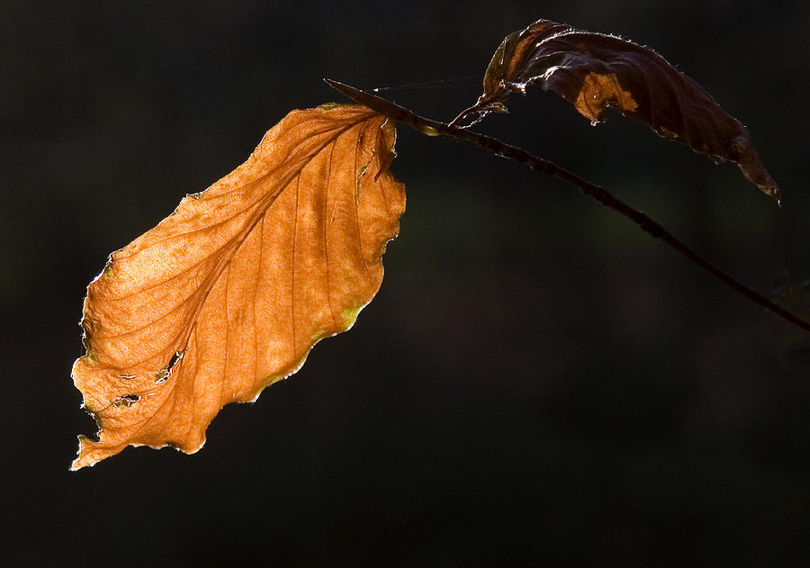 Leaf Photograph - Autumn Leaf by Frits Selier