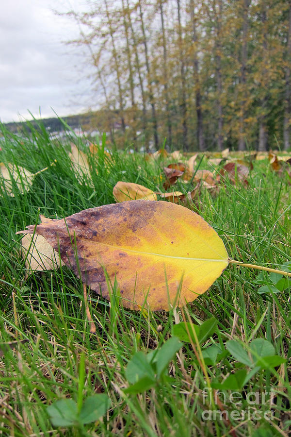 Yellow Photograph - Autumn Leaf On Green by Michelle Bergersen