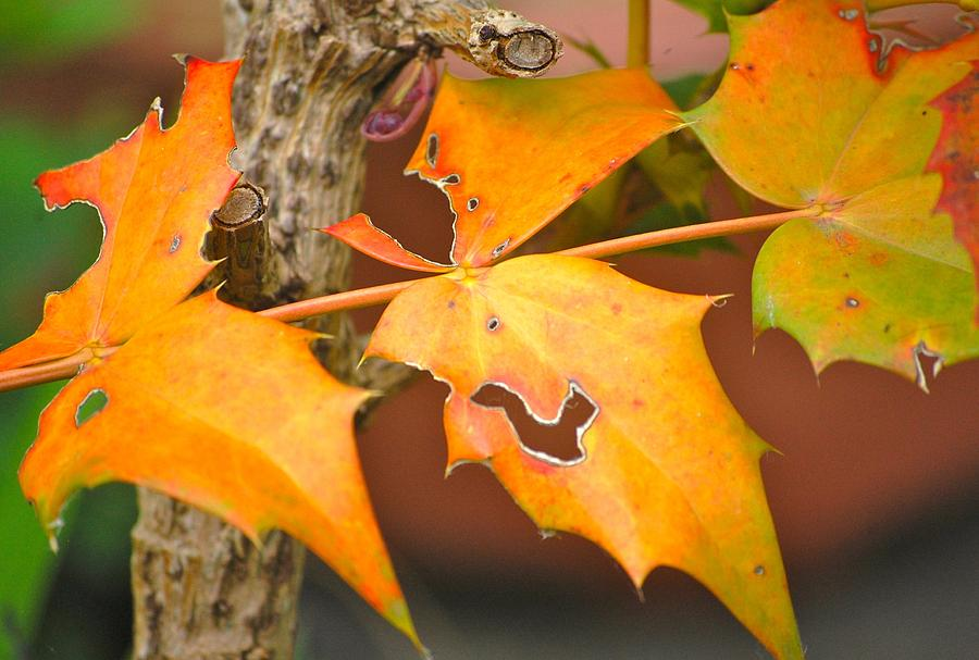 Leaf Photograph - Autumn Leaves by Dickon Thompson