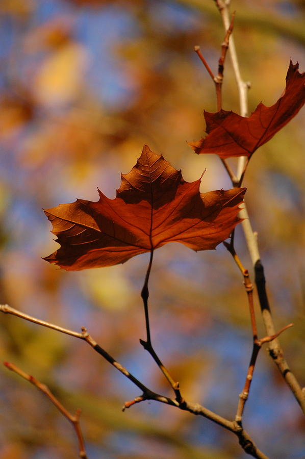 Pure Photograph - Autumn Leaves II by Dickon Thompson