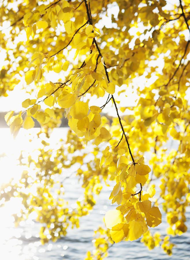 Vertical Photograph - Autumn Leaves On Branch With Lake In Background, Close-up by Johner Images