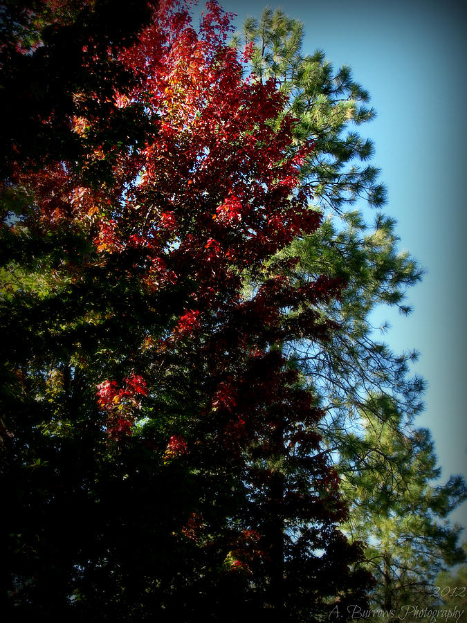 Prescott National Forest Photograph - Autumn Maple And Ponderosa Pines by Aaron Burrows