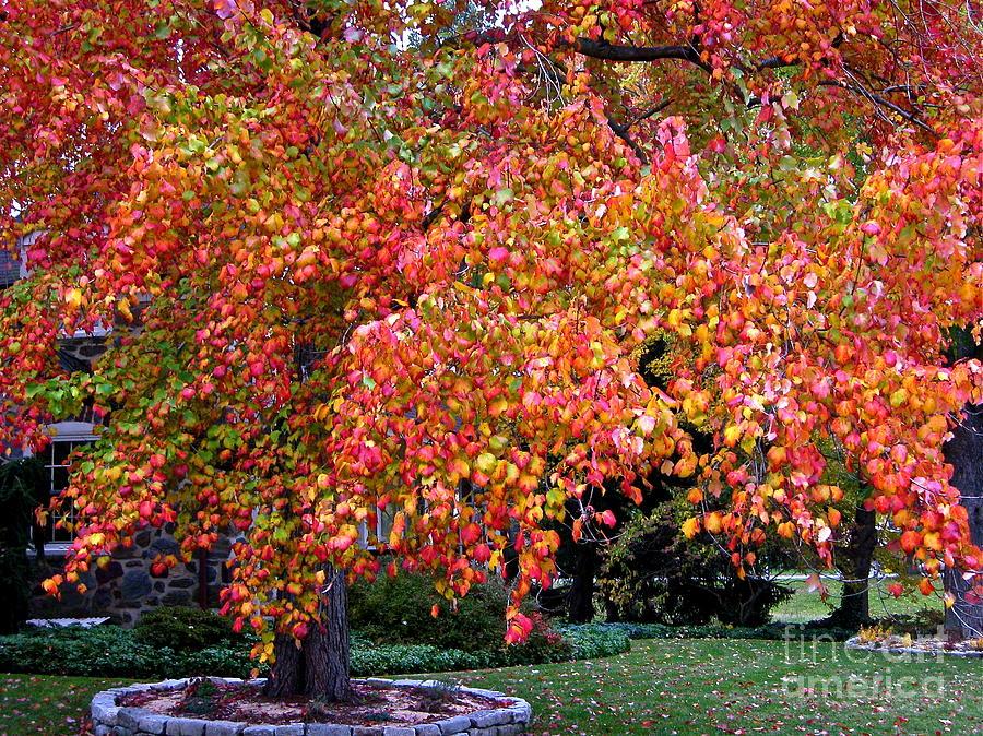 Autumn Tree Photograph - Autumn Maple by Byron Varvarigos