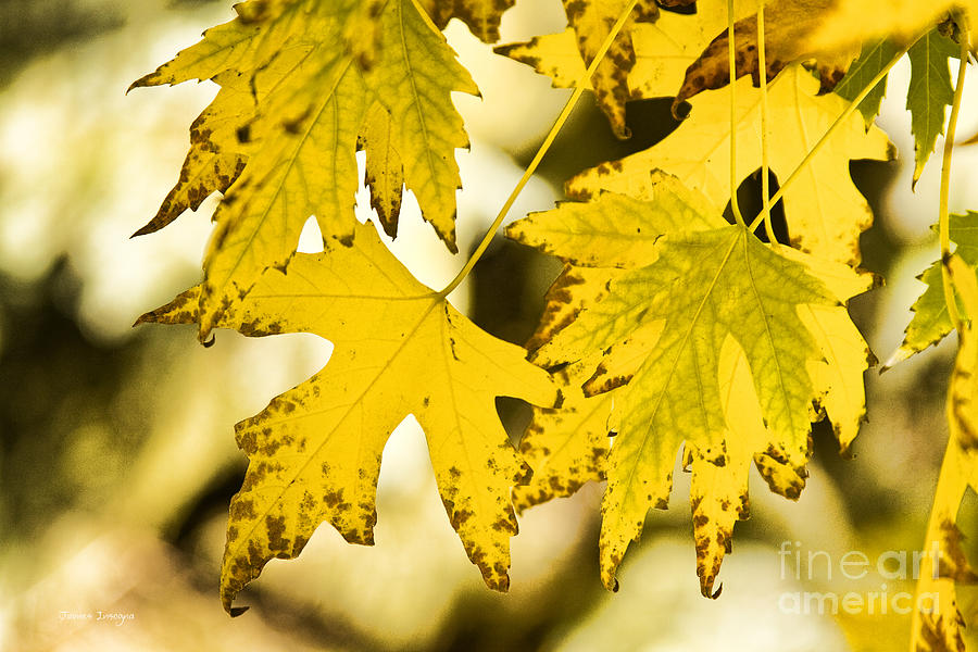 Maple Photograph - Autumn Maple Leaves by James BO  Insogna