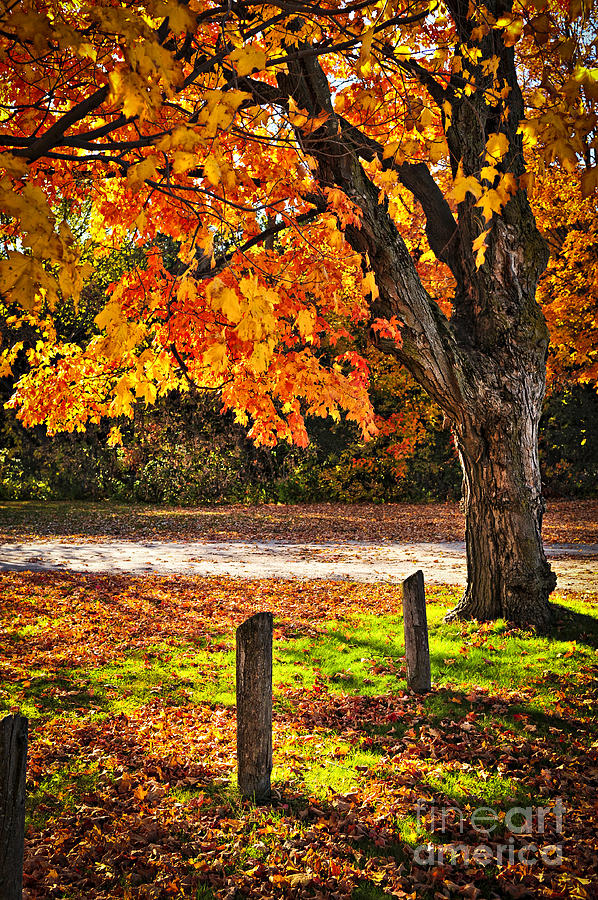 Maple Photograph - Autumn Maple Tree Near Road by Elena Elisseeva