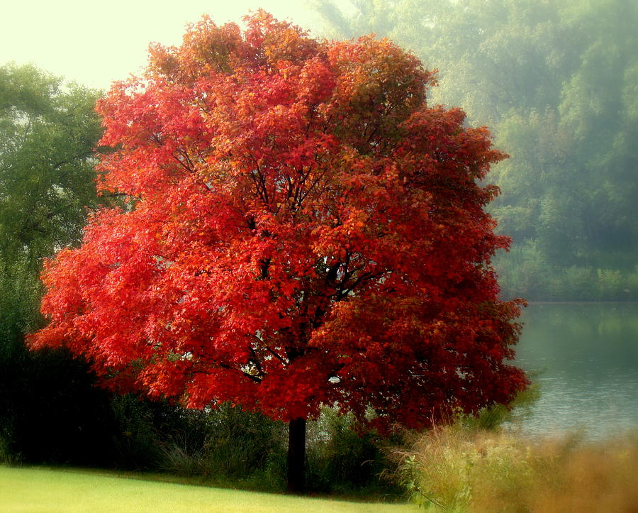 autumn-maple-tree-rosanne-jordan.jpg