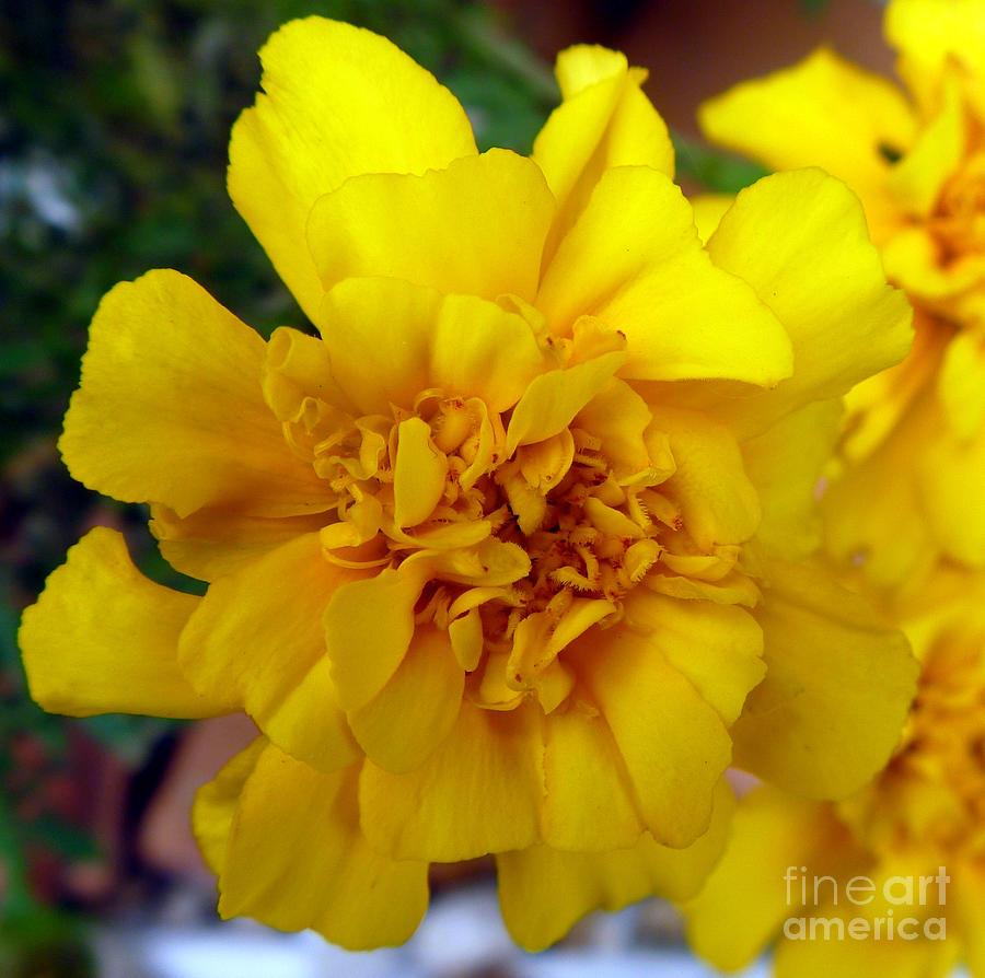 Autumn Photograph - Autumn Marigold 2 by Alys Caviness-Gober
