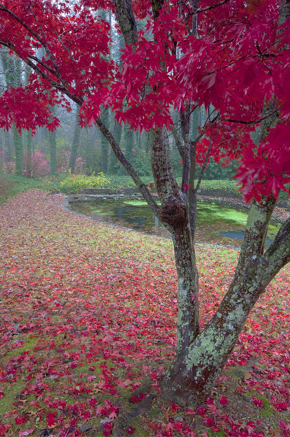 Maple Leaves Photograph - Autumn Red by Rob Travis