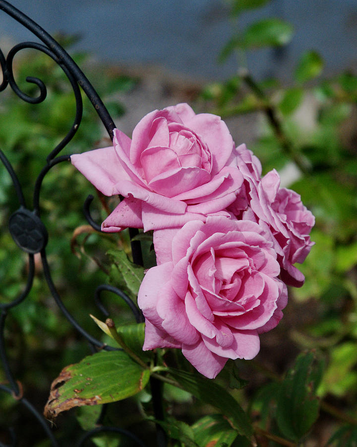 Autumn Photograph - Autumn Roses by Barry Doherty