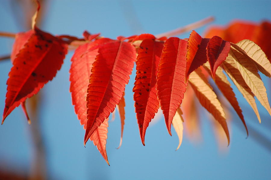Pure Photograph - Autumn Scarlet by Dickon Thompson