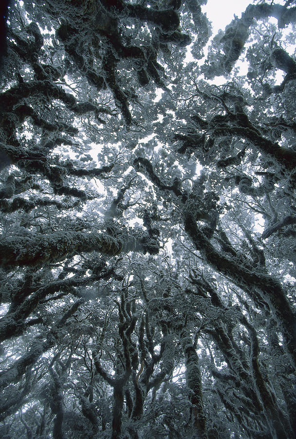 Autumn Snow On Beech Trees, Routeburn Photograph by Colin Monteath