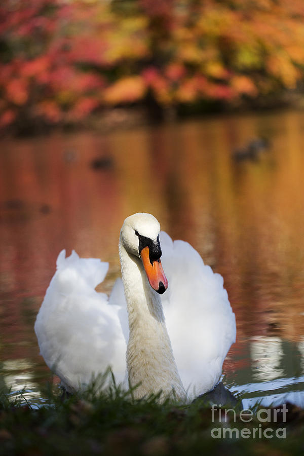 Autumn Photograph - Autumn Swan by Leslie Leda