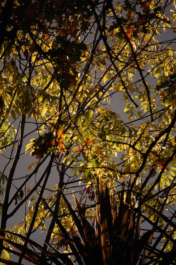 Pure Photograph - Autumn Trees IIi by Dickon Thompson