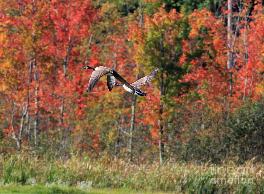 Autumn Photograph - Autumn Vermont Geese And Color by Deborah Benoit