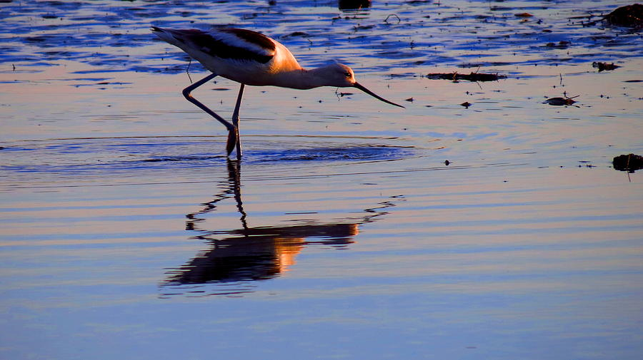 Bird Photograph - Avocet In The Dim Light by Catherine Natalia  Roche