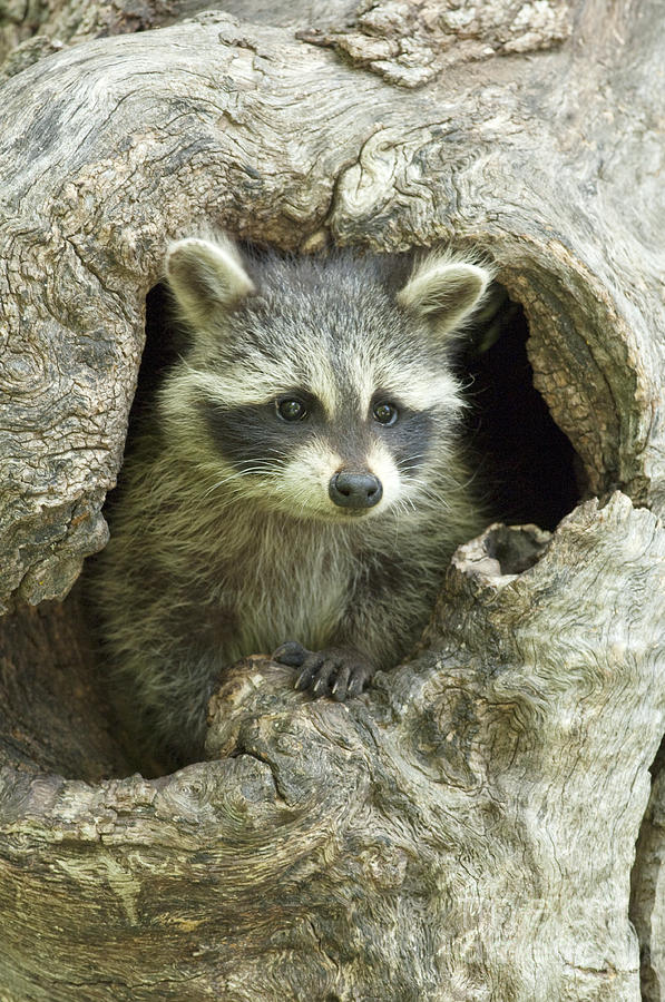 Raccoon Photograph - Awaiting Mom by Sandra Bronstein