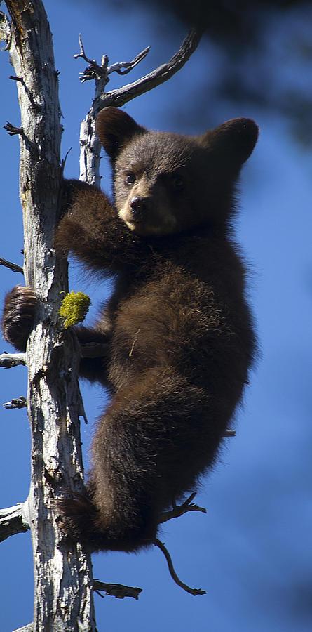 Bear Photograph - Baby Bear by Clinton Nelson