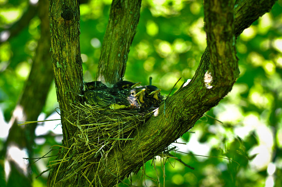 Landscape Photograph - Baby Birds by Erica McLellan