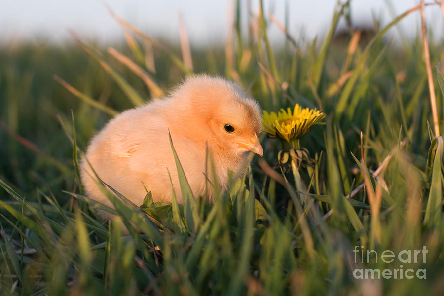 Poultry Photograph - Baby Chick In Green Grass by Cindy Singleton