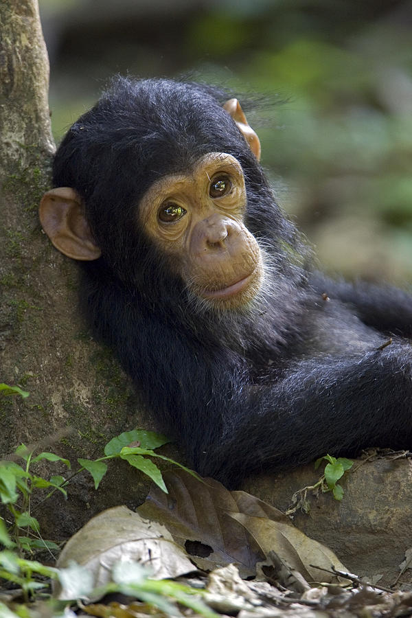 Baby Chimpanzee In Gombe Stream Np Photograph by Ingo Arndt