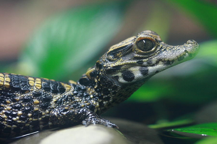 Baby Crocodile Photograph By Paul Slebodnick