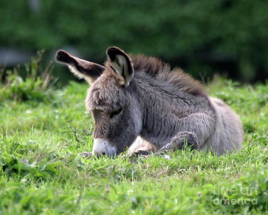 Donkey Photograph - Baby Donkey by Deborah  Smith