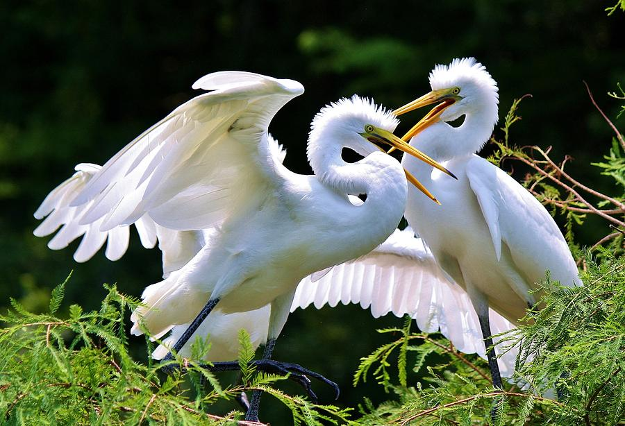 Great White Egret Photograph - Baby Egrets In The Nest by Paulette Thomas