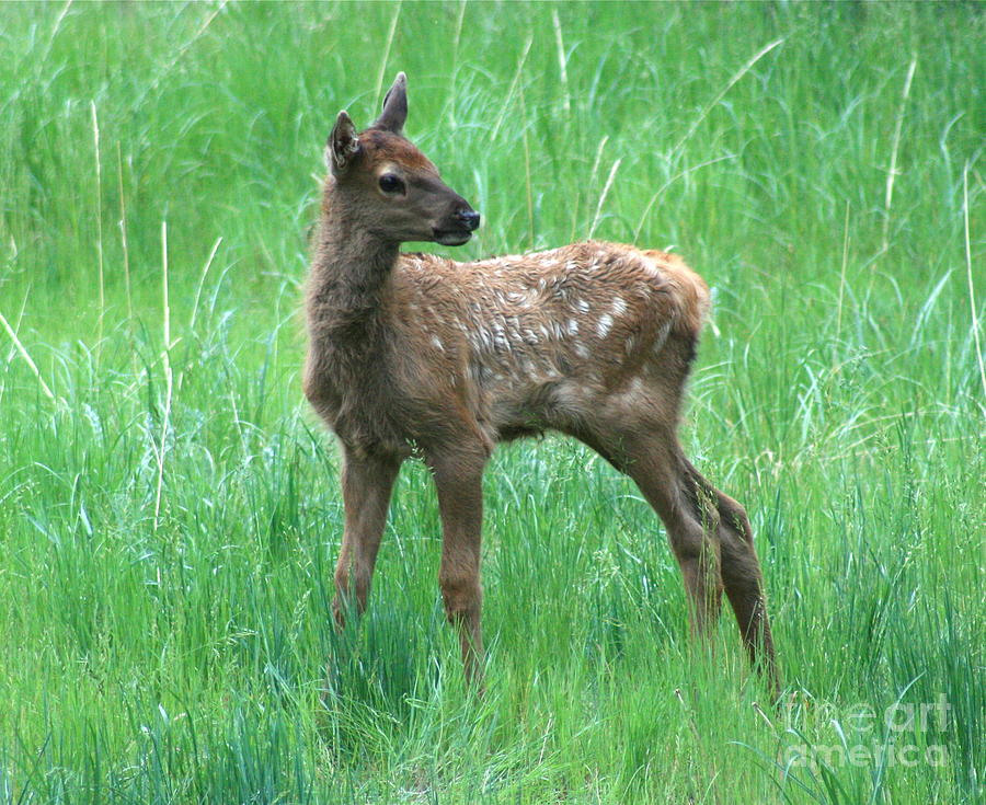 Baby Elk Photograph By Don Ellis