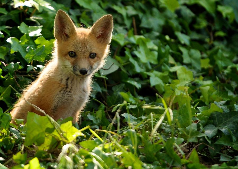 Baby fox in the ivy photograph by matt macmillan for Photographs for sale online