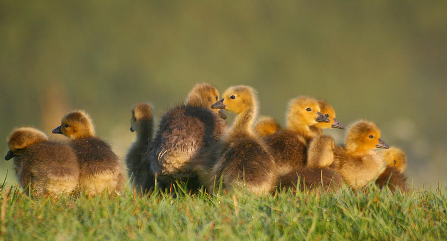 Horizontal Photograph - Baby Geese by All images taken by Keven Law of London, England.
