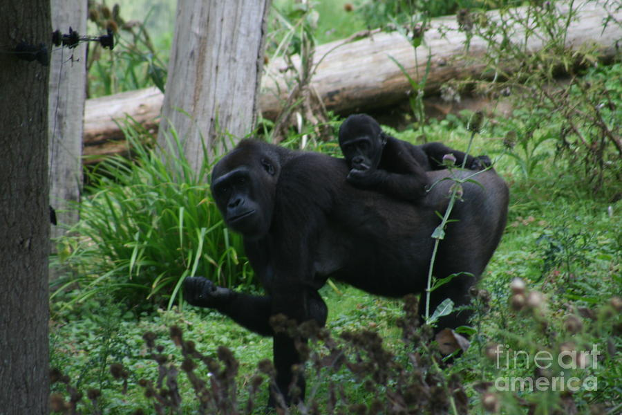 Baby Photograph - Baby Gorilla by Carol Wright