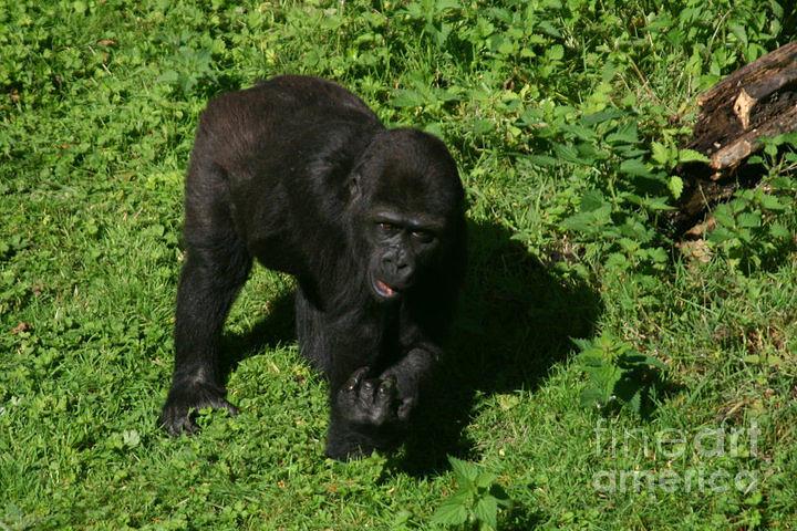 Gorilla Photograph - Baby Gorilla Find Own Feet by Carol Wright