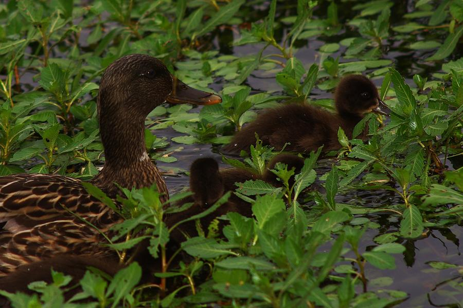 Duck Photograph - Baby Mallards by Billy  Griffis Jr