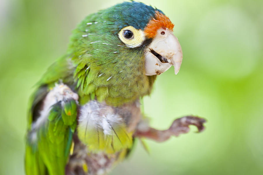 Baby Parrot Photograph By Craig Lapsley