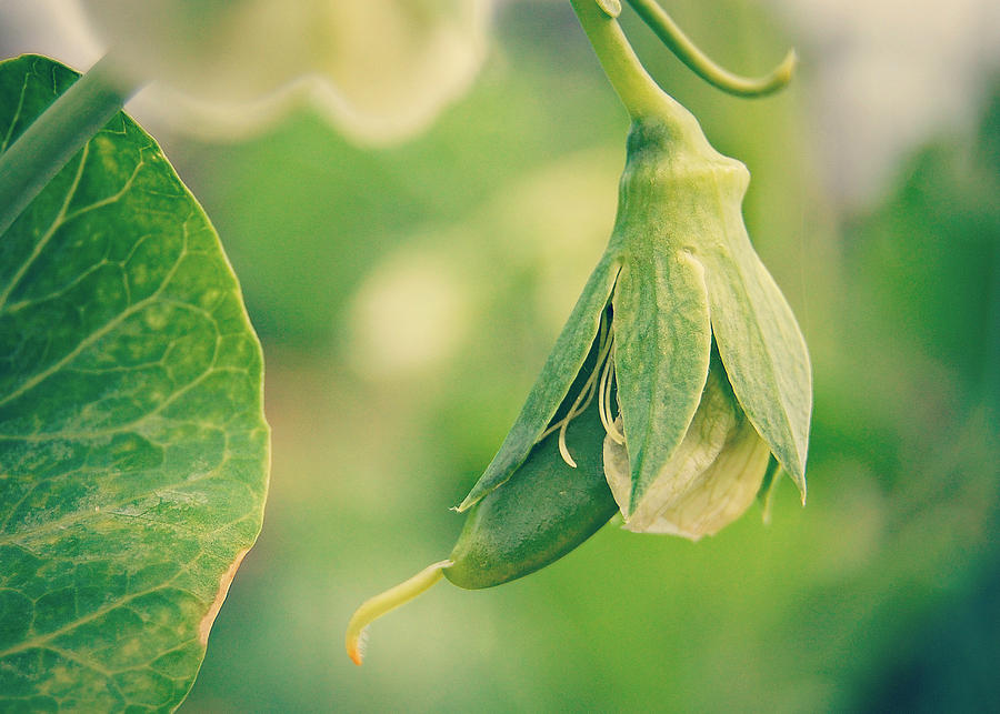 Vegetable Photograph - Baby Pea by Amy Schauland