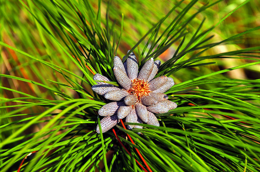 Fine Art Photography Photograph - Baby Pine Cones by David Lee Thompson