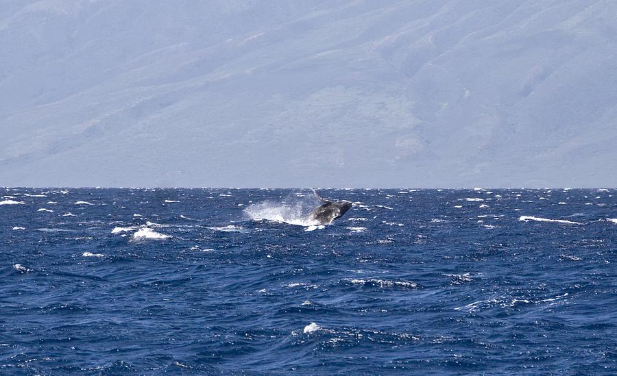 Whale Photograph - Baby Whale Breach by Chris Ann Wiggins