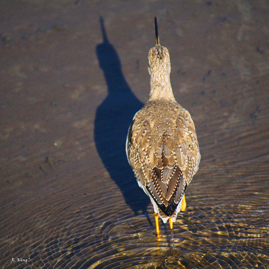 Greater Yellowlegs Photograph - Back Side by Roena King