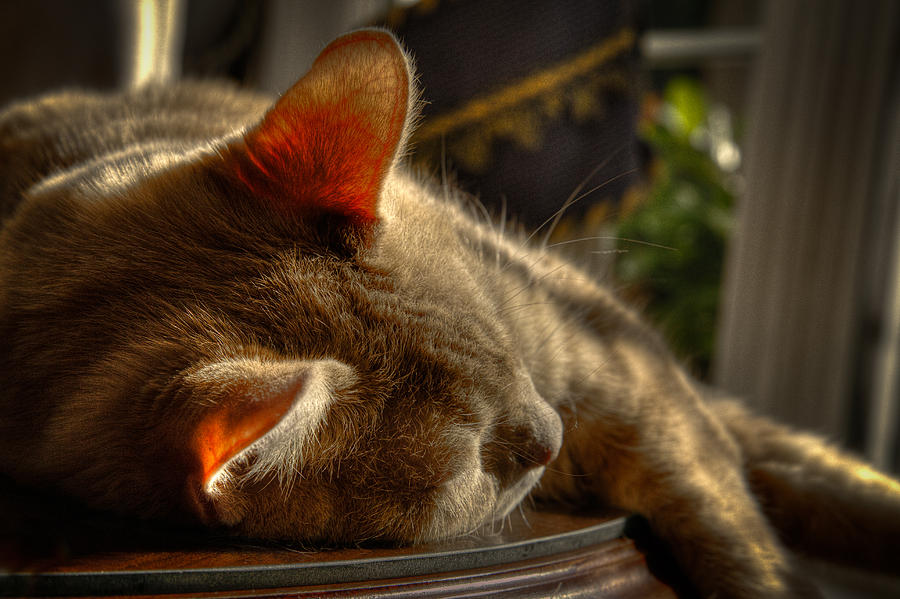 Cat Photograph - Backlit Ears by David Patterson