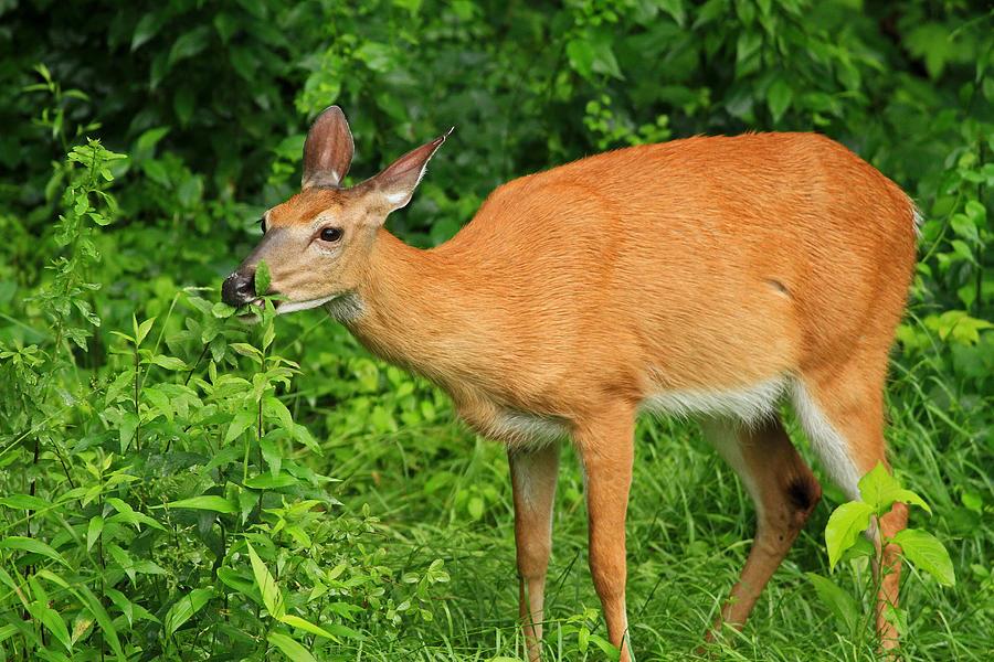 Deer Photograph - Backyard Dining by Karol Livote