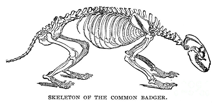https://images.fineartamerica.com/images-medium-large/badger-skeleton-granger.jpg