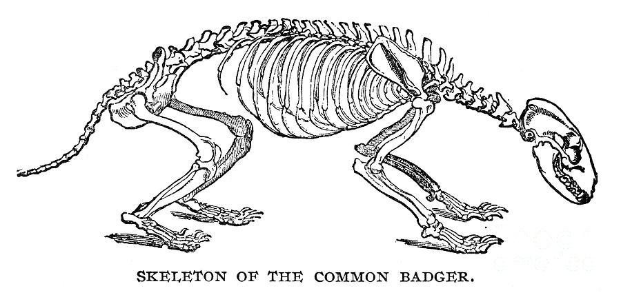 https://images.fineartamerica.com/images-medium-large/badger-skeleton-granger.jpg