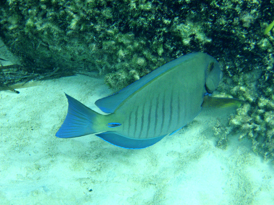 Blue Photograph - Bahamas Blue Tang by Kimberly Perry