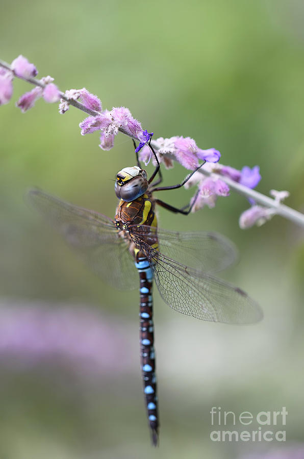 Dragonfly Photograph - Balance by LHJB Photography