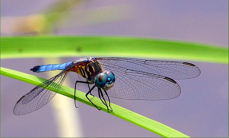 Dragonfly Photograph - Balancing Act by Robin Pross