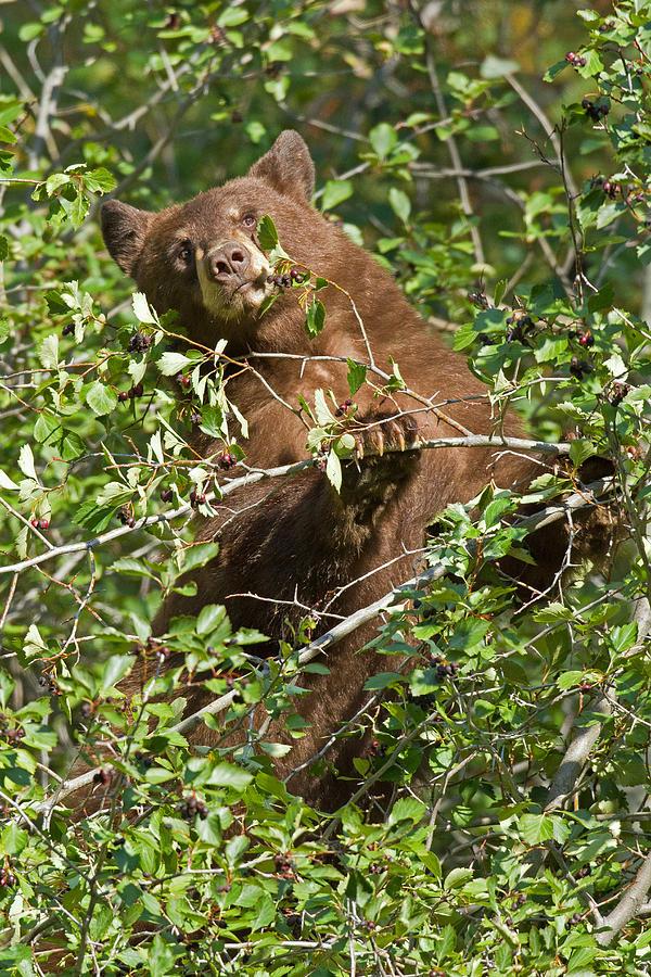 Bear Photograph - Balancing Act by Sandy Sisti