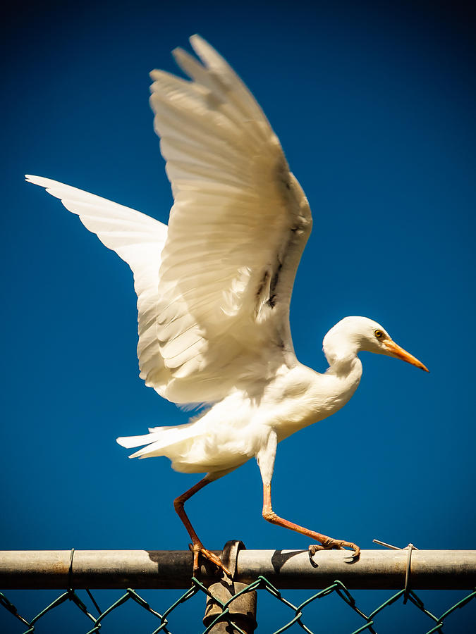 Balancing Egret by Daniel Marcion