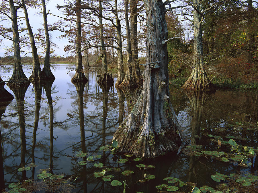 Bald Cypress At Upper Blue Basin This Photograph by Tim Fitzharris