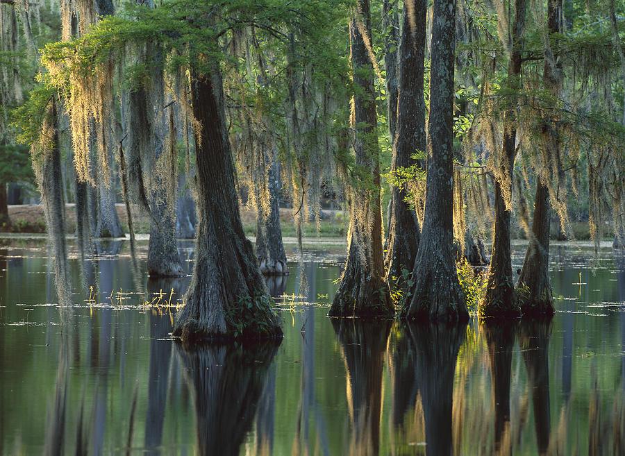 Bald Cypress Swamp Sam Houston Jones Photograph By Tim