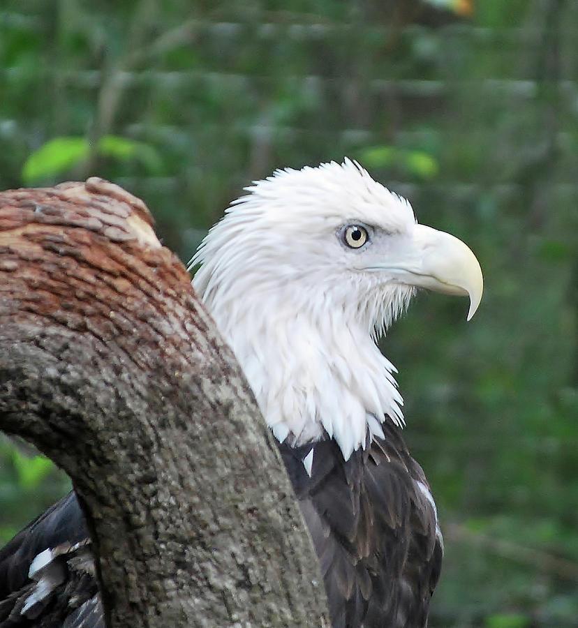 Bird Photograph - Bald Eagle by Bill Hosford